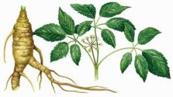 ginseng-procreation